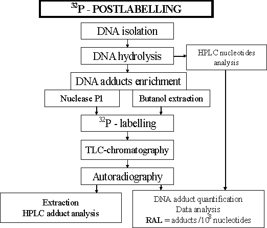 DNA_adducts-1